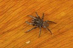 家庭Ctenizidae的活板门蜘蛛从Kanger Ghati国家公园的 免版税库存图片