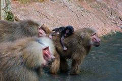 家庭hamadryas狒狒 图库摄影