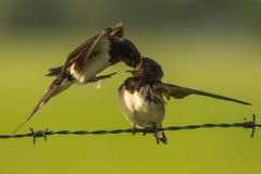 家燕哺养 免版税库存图片