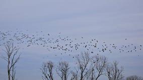 家燕群在飞行中上面树冠上与坐伟大的鸬鹚 免版税库存照片