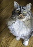 家猫乞求为注意 库存照片