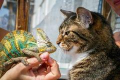 家猫关闭与变色蜥蜴 免版税库存图片