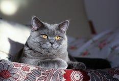 家猫在椅子的英国品种 免版税图库摄影