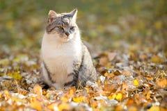 家猫室外放松在秋叶 库存图片