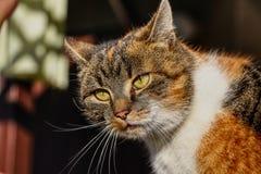 家猫的一张被难倒的面孔与嫉妒的 她看很迷茫 五颜六色的身体有迷离背景 不解的动物 免版税库存图片