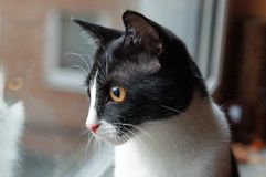 家猫看窗口 库存图片