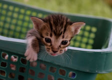 家猫颜色褐色 免版税图库摄影