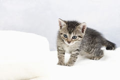 家猫,在白色毯子的小猫 免版税库存照片