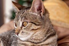 家猫画象在长沙发的 库存图片