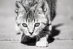 家猫 免版税库存图片