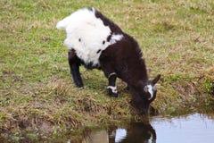 家用黑白山羊孩子饮料水 图库摄影
