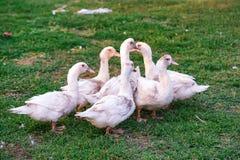家畜与在农场的白色家养的鸭子 库存图片