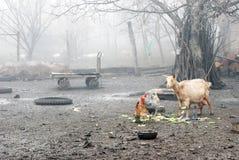 家畜与雾的早晨 免版税库存图片