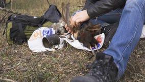 家畜准备,寻找题材 人的手拔出羽毛五颜六色的野鸡家畜 采一个整个野鸡 股票录像