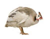 家畜几内亚头盔状的meleagris numida 免版税库存图片