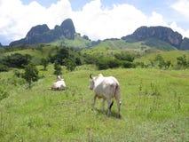 家畜在委内瑞拉 库存图片