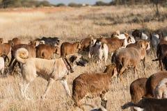 家畜在牧群中的护卫犬 免版税库存照片