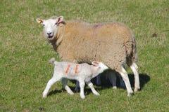 家畜在绵羊产小羊 库存图片