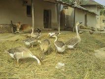 家畜汇聚在一个农村家的前院 库存照片