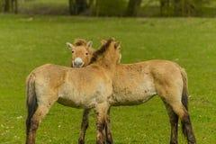 家畜-大动物- Przewalski的马 免版税库存图片