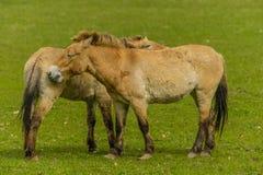 家畜-大动物- Przewalski的马 库存照片