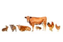家畜; 免版税图库摄影