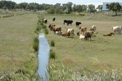 家畜 免版税库存照片
