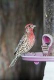 家的fench鸟,向日葵种子,鸟饲养者,树 免版税图库摄影