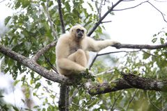 家神长臂猿或白被递的长臂猿 库存图片