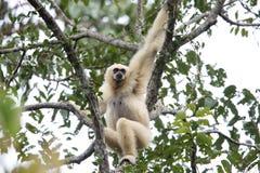 家神长臂猿或白被递的长臂猿 库存照片