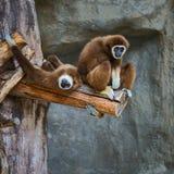 家神长臂猿 库存照片