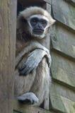 家神长臂猿 图库摄影