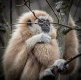 家神长臂猿 免版税库存照片