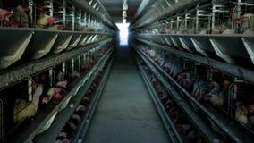 家禽场,鸡在露天笼子坐并且吃混杂的饲料,在传送带谎言母鸡` s鸡蛋,农场 股票录像