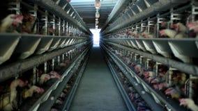 家禽场,鸡在露天笼子坐并且吃混杂的饲料,在传送带谎言母鸡` s鸡蛋,禽畜安置 股票录像