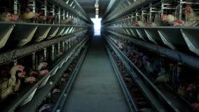 家禽场,鸡在露天笼子坐并且吃混杂的饲料,在传送带谎言母鸡` s鸡蛋,禽畜安置 影视素材