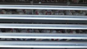 家禽场,鸡在露天笼子坐并且吃混杂的饲料,在传送带谎言母鸡` s鸡蛋,禽畜安置 股票视频