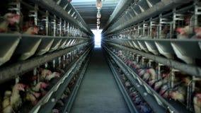 家禽场,鸡在露天笼子坐并且吃混杂的饲料,在传送带谎言母鸡` s鸡蛋,种田 股票视频