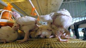 家禽场,鸡,在禽畜的母鸡 影视素材