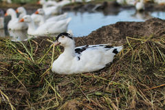 家禽场-白色和黑羽毛低头 免版税图库摄影