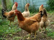 家禽养殖 免版税图库摄影