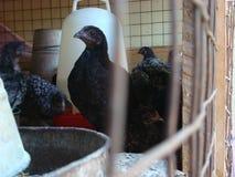 家禽养殖 图库摄影