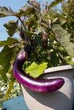 家种的茄子 免版税库存照片
