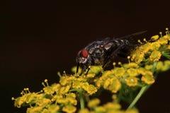 家蝇坐小黄色花 在野生生物的动物 免版税库存照片