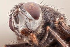 家蝇 免版税库存图片