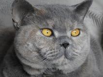 家谱猫美丽的眼睛画象 库存图片