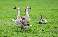 家养的中国鹅 接地在一个爱好农场安大略的,加拿大的口气五颜六色的大鸟 库存照片