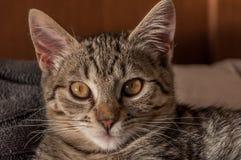 家养的小猫画象  库存图片