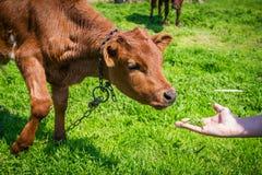 家养的棕色母牛小牛 免版税库存图片