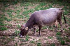 家养的棕色母牛 免版税库存照片